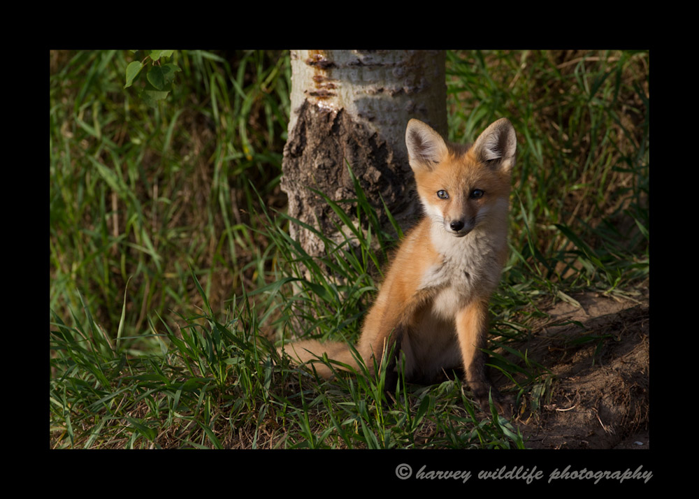 Red Fox Kit at Dusk