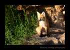 Red_Fox_Sitting