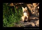 Red_Fox_Sitting