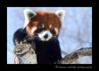 Meet Ralphie, one of the red pandas from the Edmonton Valley Zoo.