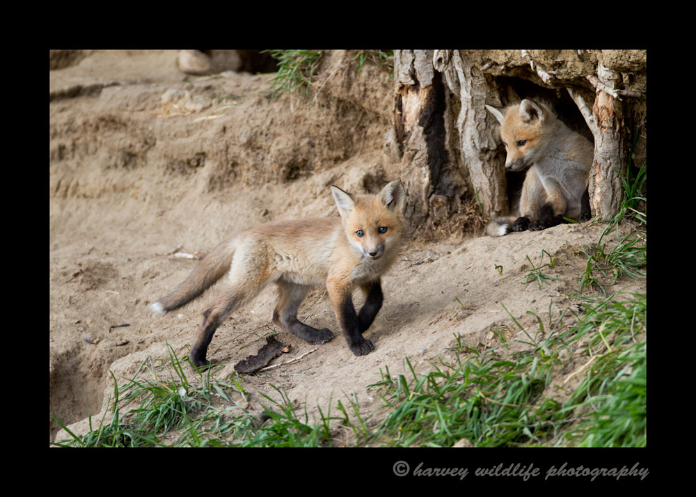 Red_fox_kits_at_their_den