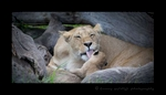 Lioness Rembo And Cub