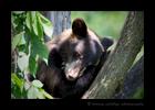 Resting Cinnamon Black Bear