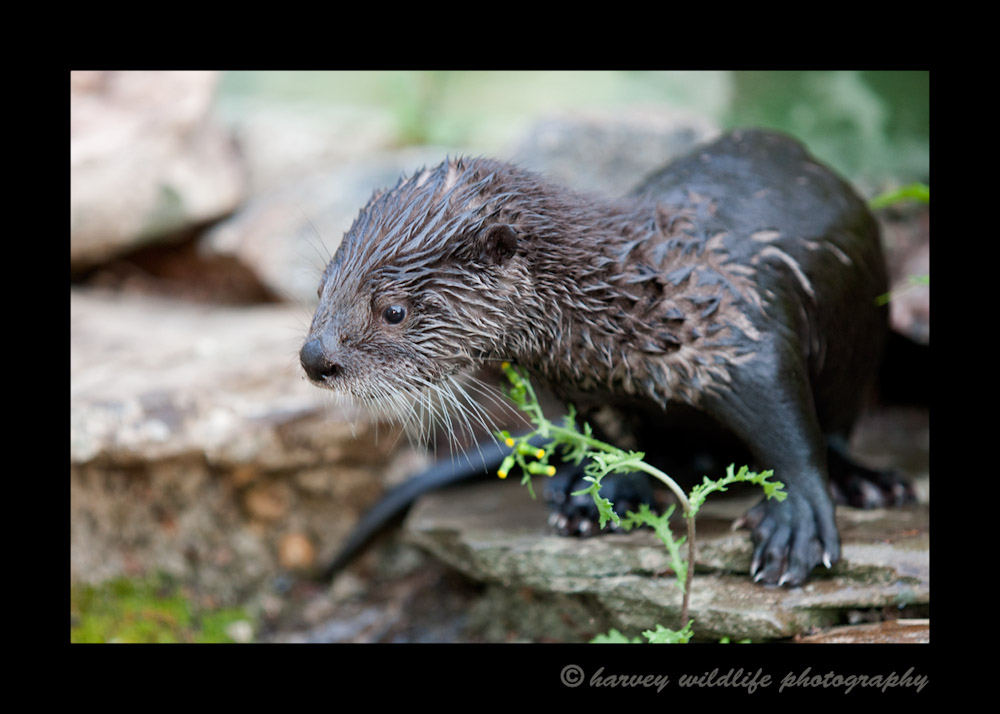 At the time of this picture, Byron; this river otter was about six weeks old. Byron is a river otter living at the Edmonton Valley Zoo.