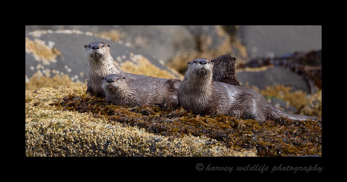 River Otter Family