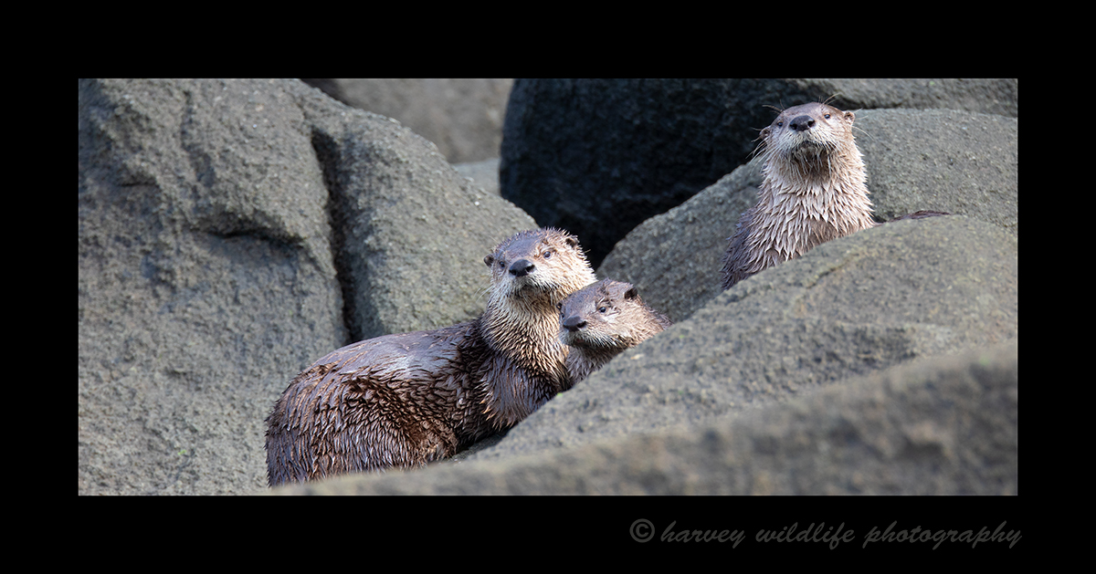 River Otter Family of Three