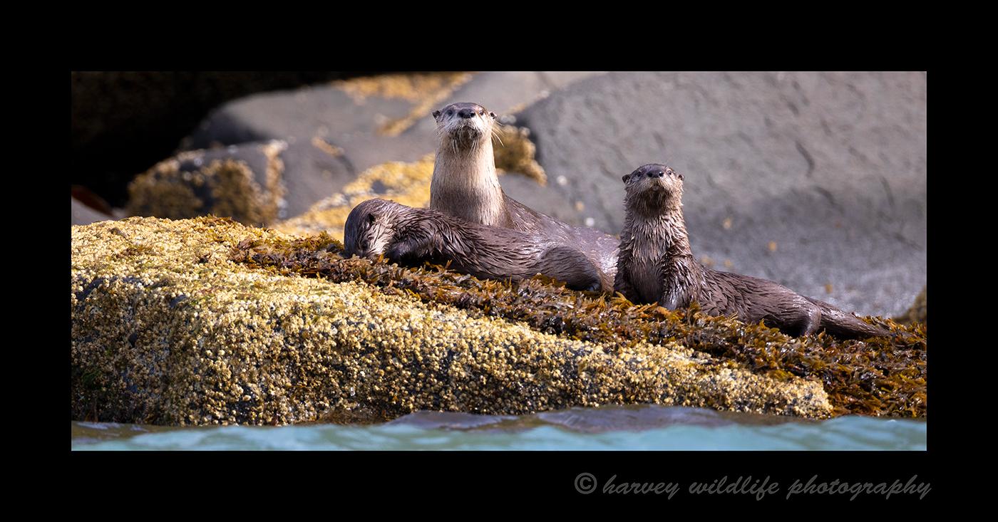 River-Otter-Trio