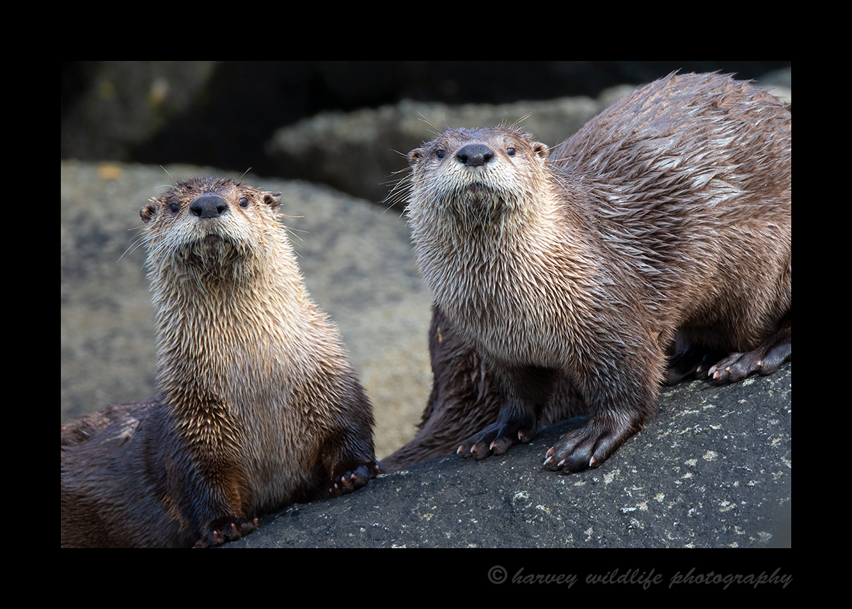 River Otter Couple, Katmai, Alaska