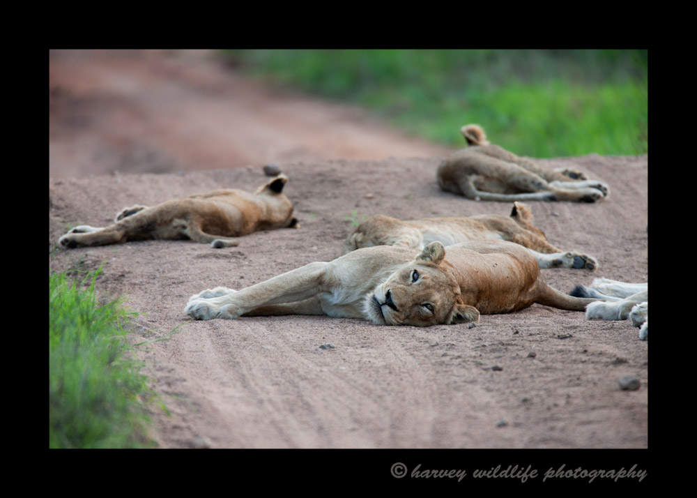 Lions seem to lie down and nap any where they feel like. In this case, they block the road so vehicles have to drive in the ditch to get around them.