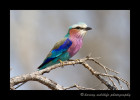 Rose-breasted-roller_1134