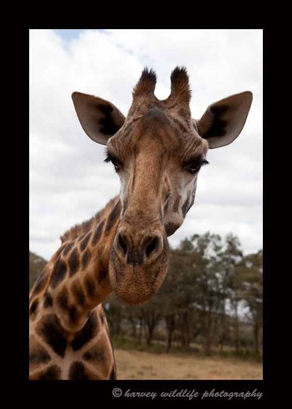 Rothschild giraffe at the Giraffe Manor in Nairobi, Kenya.