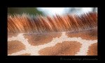 Rothschild Giraffe Mane