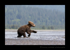 Running Brown Bear Cub