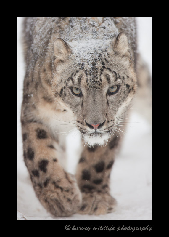 Meet Kazi, the male snow leopard at the Edmonton Valley Zoo.