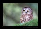Saw Whet Owl Wildlife Class