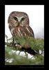 Captive saw whet owl near Toefield, Alberta, Canada.