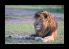 Scarface Masai Mara Lion