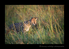 Picture of a serval cat hunting in the Masai Mara National Park, Kenya. Photo was taken just outside Governors Camp.