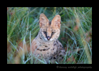 Picture of a serval cat in the early morning in the Masai Mara National Reserve in Kenya. Photo by Harvey Wildlife Photography.