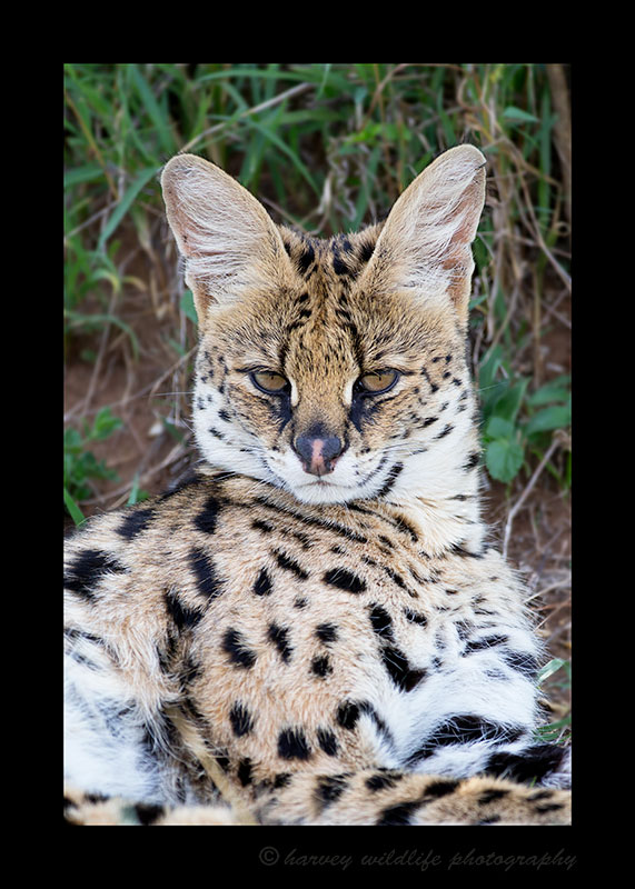 Last year we had our first serval sightings. Three females. This year we saw fhree males and a female.