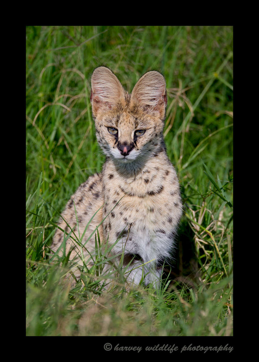 Picture of a serval cat sitting in the grass in Masai Mara, Kenya. Photo by Greg of Harvey Wildlife Photography.