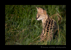 Picture of a serval cat in the Masai Mara in Kenya. Photo by Harvey Wildlife Photography. This was our fourth trip to Africa and had never seen a serval cat in the wild. During this trip we had three sightings of these pretty felines.
