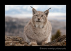 This SIberian lynx is a wildlife model living in Montana.