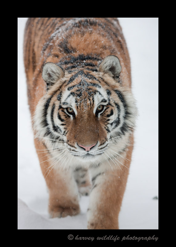 Meet Taiga. She is a siberian or amur tiger living in the Valley Zoo in Edmonton, Alberta.