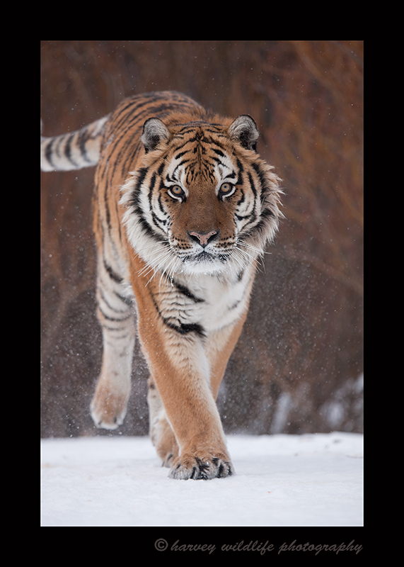Siberian Tiger Walking