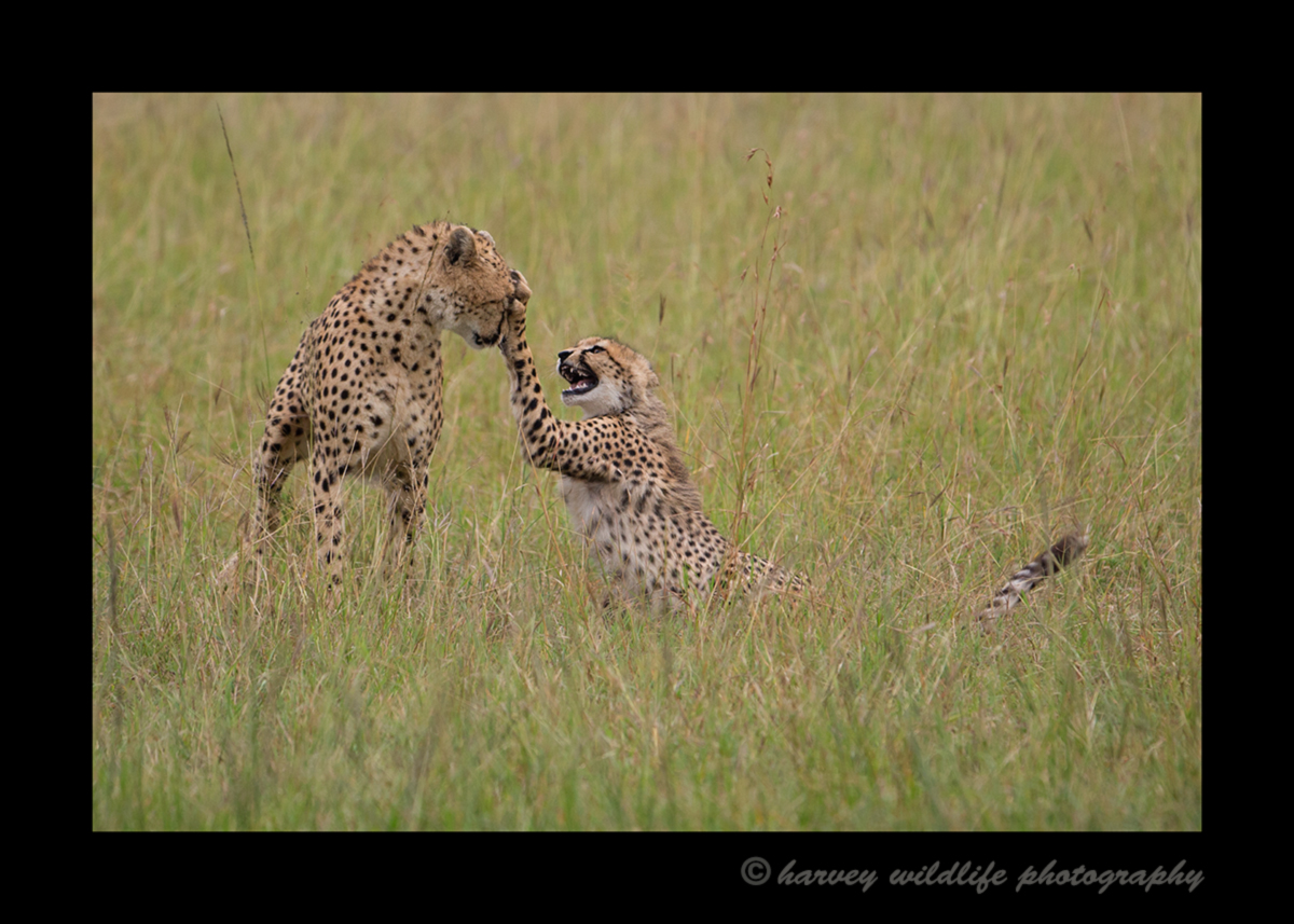 Picture of a cheetah named Sierra and her cub playing. Image taken in the Masai Mara National Reserve. Photo by Harvey Wildlife Photography.