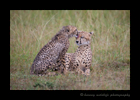 Picture of a cheetah named Sierra and her cub grooming one another after the rain. Photographed in Kenya's Masai Mara National Reserve. Photo by Harvey Wildlife Photography.