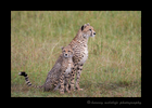 Picture of cheetah mom, Sierra and her cub sitting in the Masai Mara National Park, Kenya, Photo by Harvey Wildlife Photography.