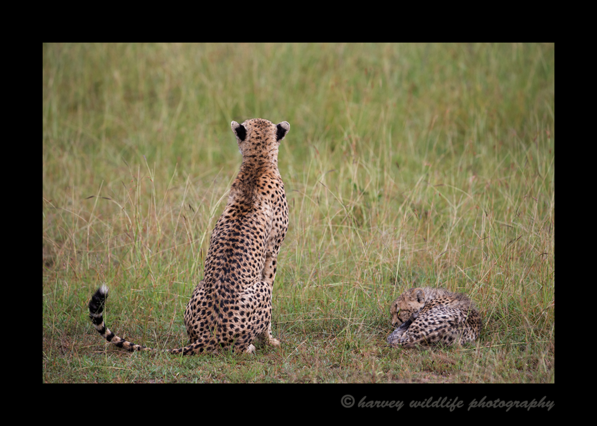 Picture of Sierra and her cheetah cub facing away from the camera. Photo taken by Greg of Harvey Wildlife Photography. Image taken in the Masai Mara National Reserve, Kenya.