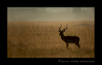 Silhouette picture of an impala at sunrise in the Masai Mara, Kenya. Photo by Harvey Wildlife Photography.