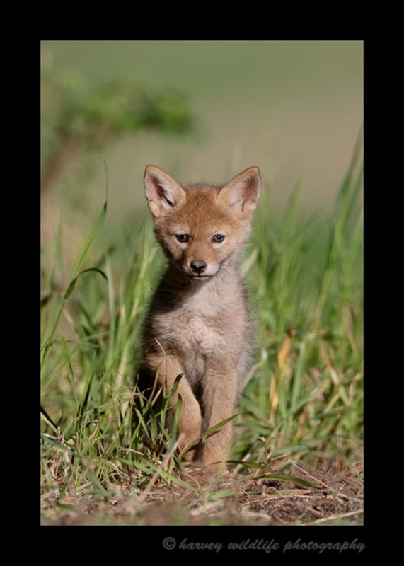 Picture of a single coyote pup. Photo taken near Stony Plain, Alberta.