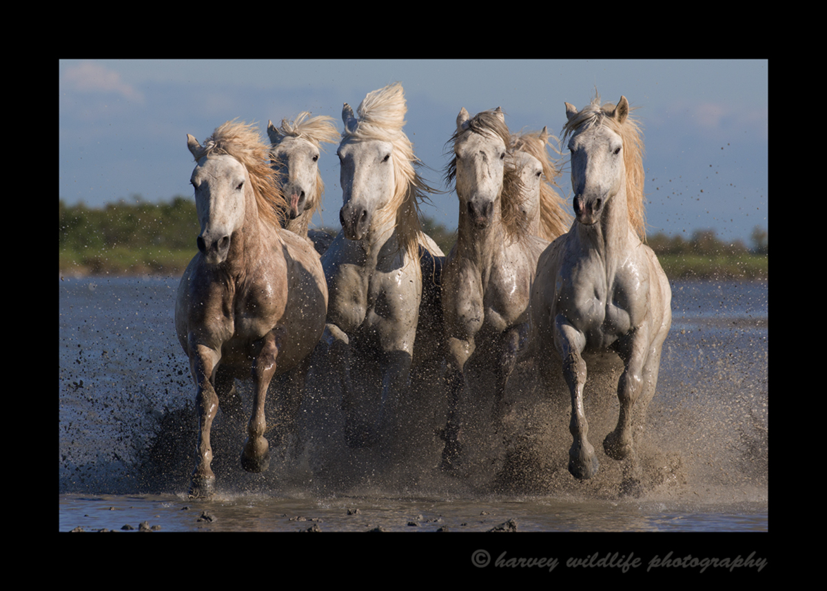 Picture of six Camargue horses splashing in the muddy etang in Southern France. Photo by Greg of Harvey Wildlife Photography.