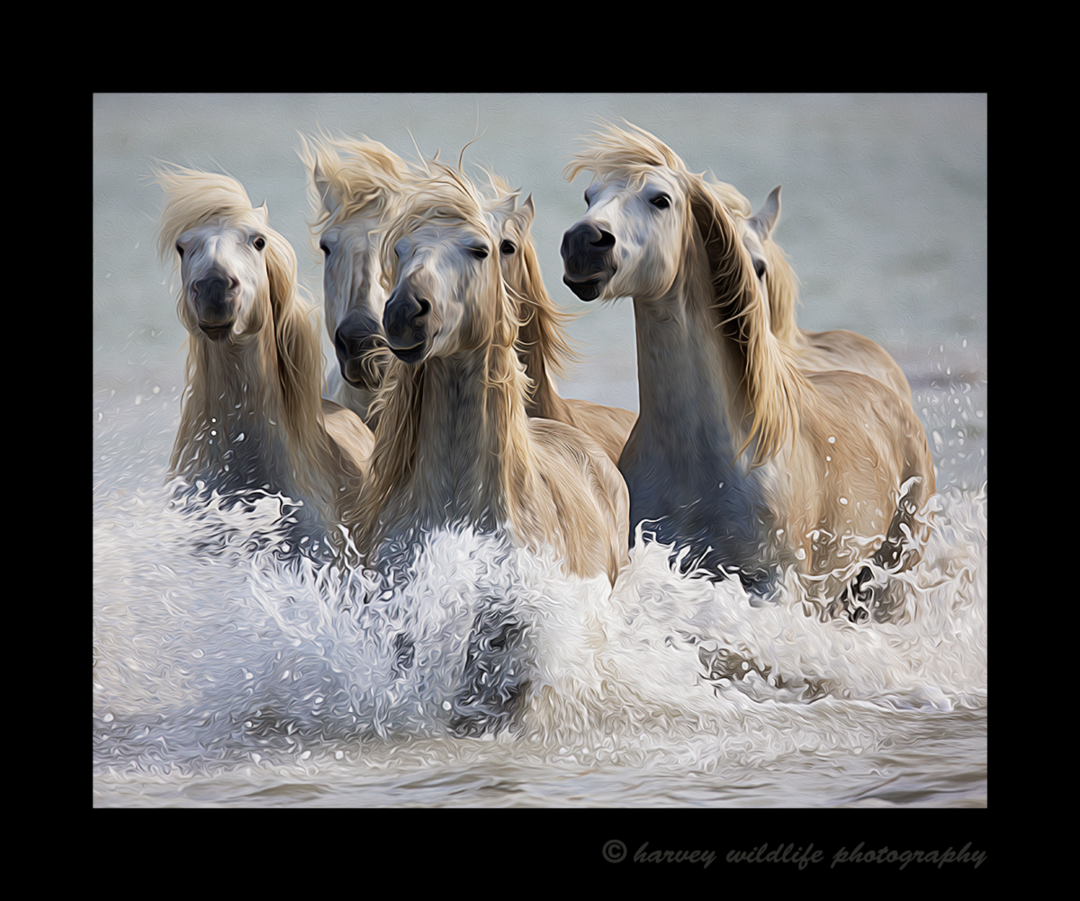 Camrague horse photo of six Camargue horses running in a delta in Southern France. This image was edited to resemble an oil painting of Camargue horses running through the water.