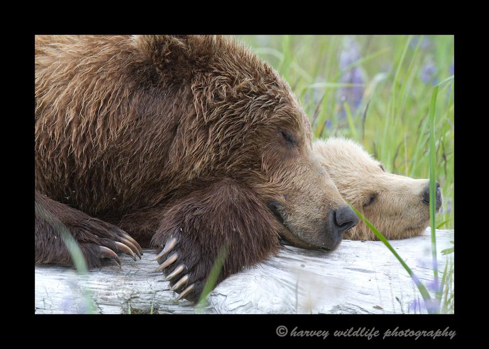 Sleeping-Brown-Bears