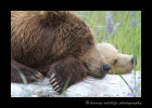 Sleeping-Brown-Bears