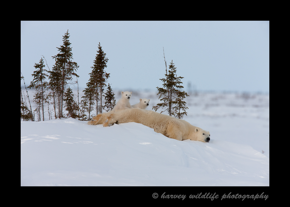 This polar bear mom needs a bath or a scratch or a little of both, so she slides a bit on her tummy before continuing her journey on to Hudson Bay.