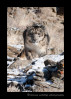This snow leopard is a wildlife model living in Montana, USA.