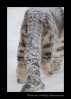 "This is the ""tail"" end of Kazi; the male snow leopard from the Edmonton Valley Zoo."