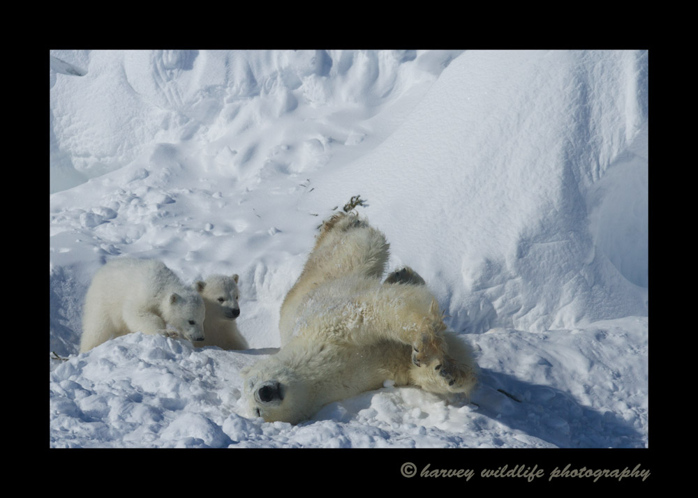 Snow_bath_and_cubs