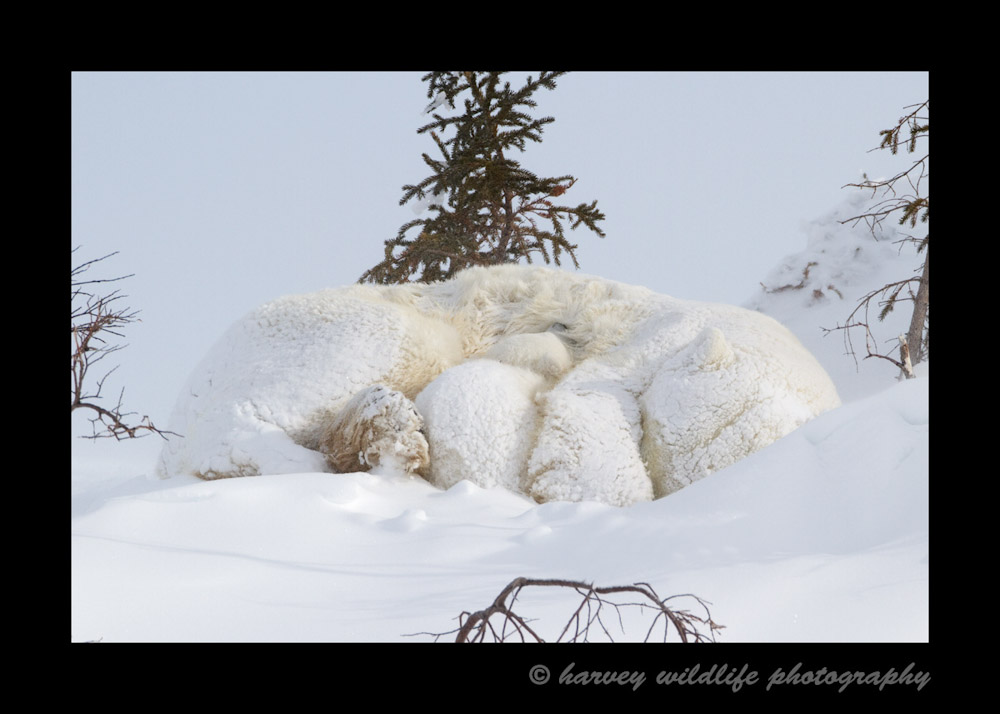 photo of a mom and cub sleeping while covered in snow.