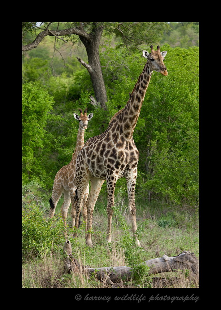 South African Giraffes Mom and Baby
