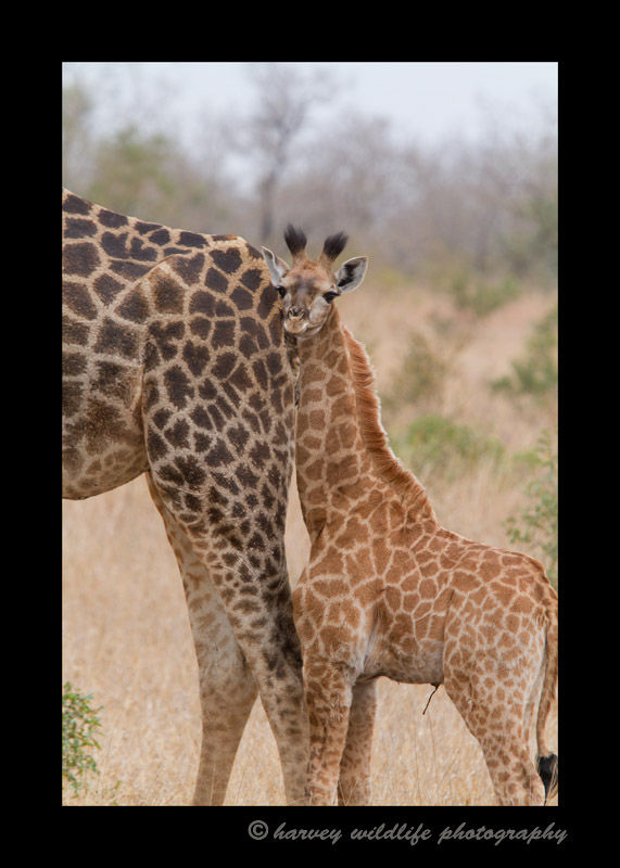 Southern giraffe baby and mom in Sabi Sands, South Africa.