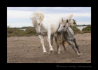 Picture of two Camargue horses sparring in Southern France. Photo taken by Greg of Harvey Wildlife Photography.