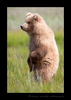 Standing Brown Bear Cub