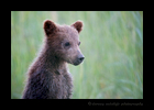 Spring Brown Bear Cub Portrait