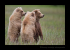 Standing Brown Bear Triplets